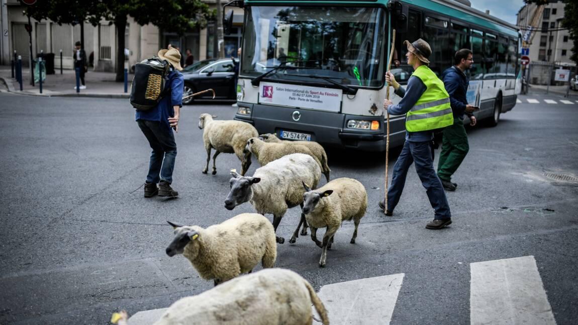 Bergers et brebis entament une grande transhumance urbaine autour de Paris