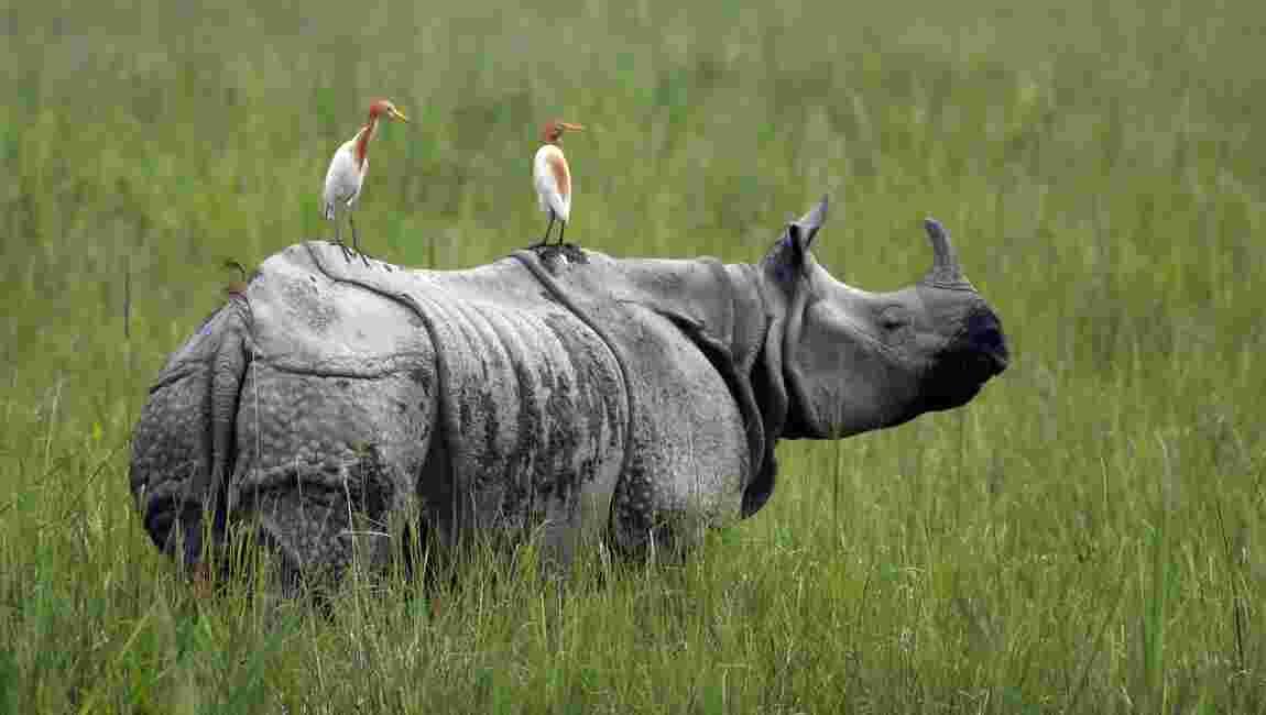 Mousson de tous les dangers pour les rhinocéros d'Inde