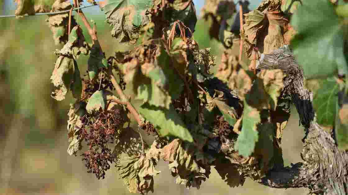 """Canicule: le ministre promet des """"aides rapides"""" aux agriculteurs touchés"""