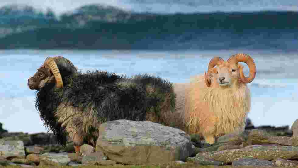 Alerte emploi : la petite île écossaise de North Ronaldsay cherche un berger (ou une bergère !) pour ses moutons endémiques