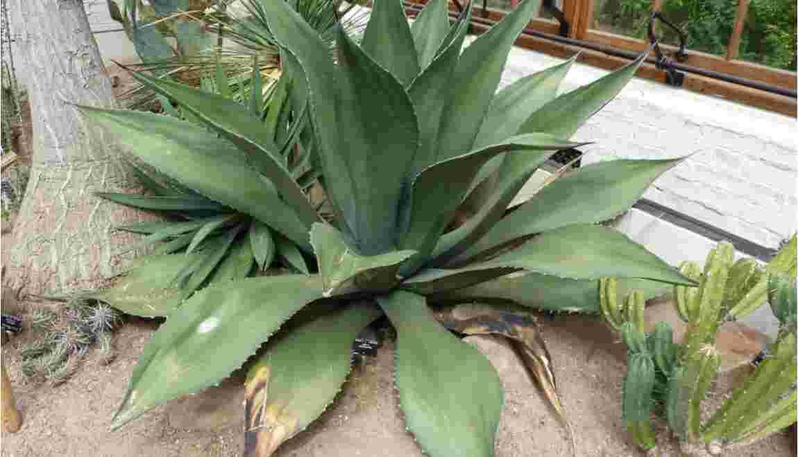 Une agave sur le point d'éclore après 57 ans au Jardin Botanique de Cambridge