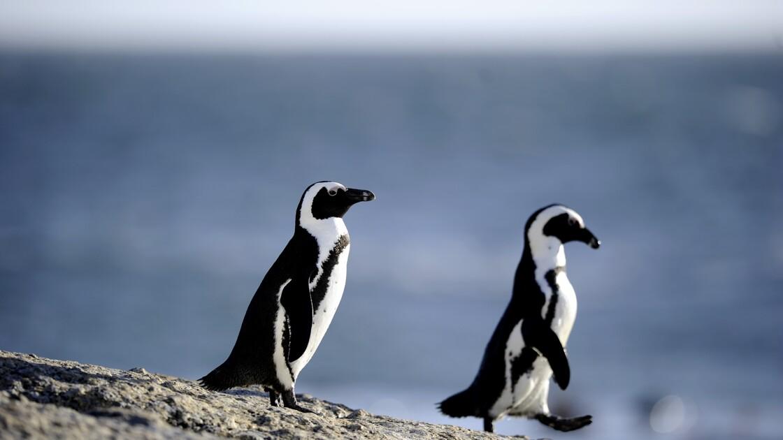 Des manchots englués dans du pétrole en Afrique du Sud : le soutage des navires en question