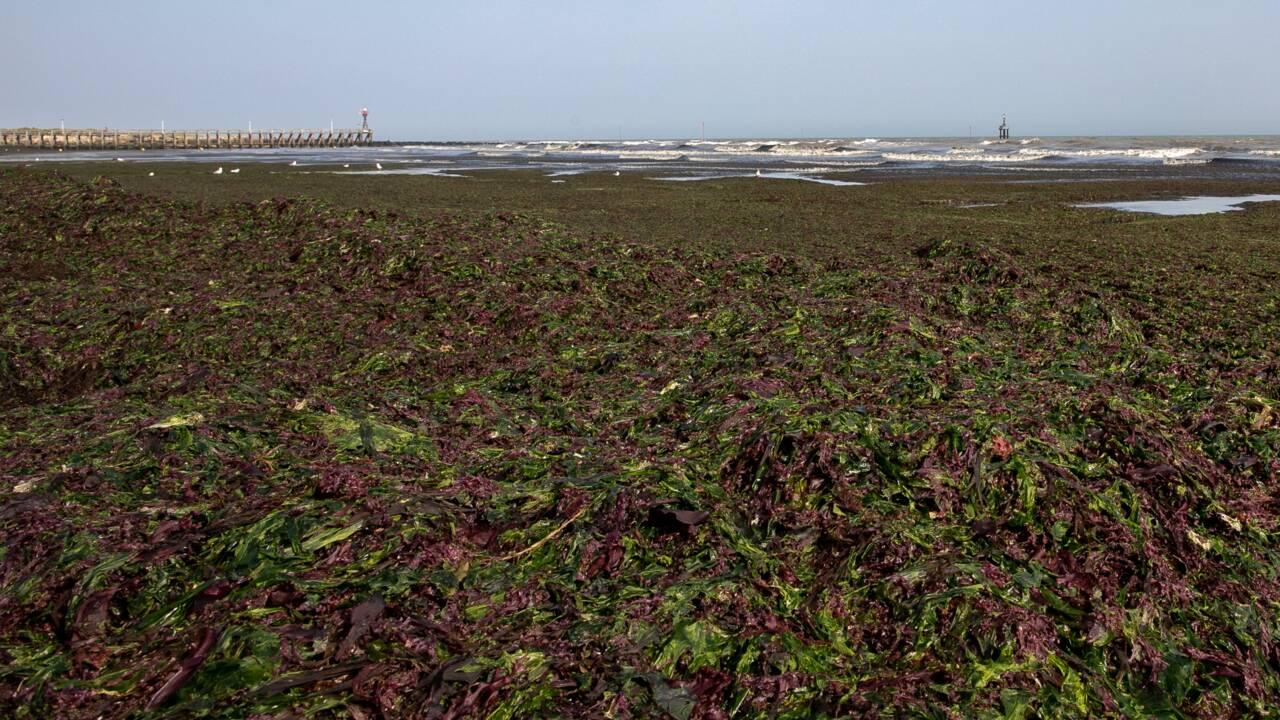 """En Normandie, l'odeur des algues est une """"infection"""""""