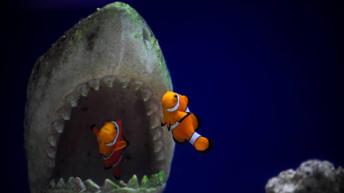 Le poisson-clown n'a pas la capacité génétique de s'adapter