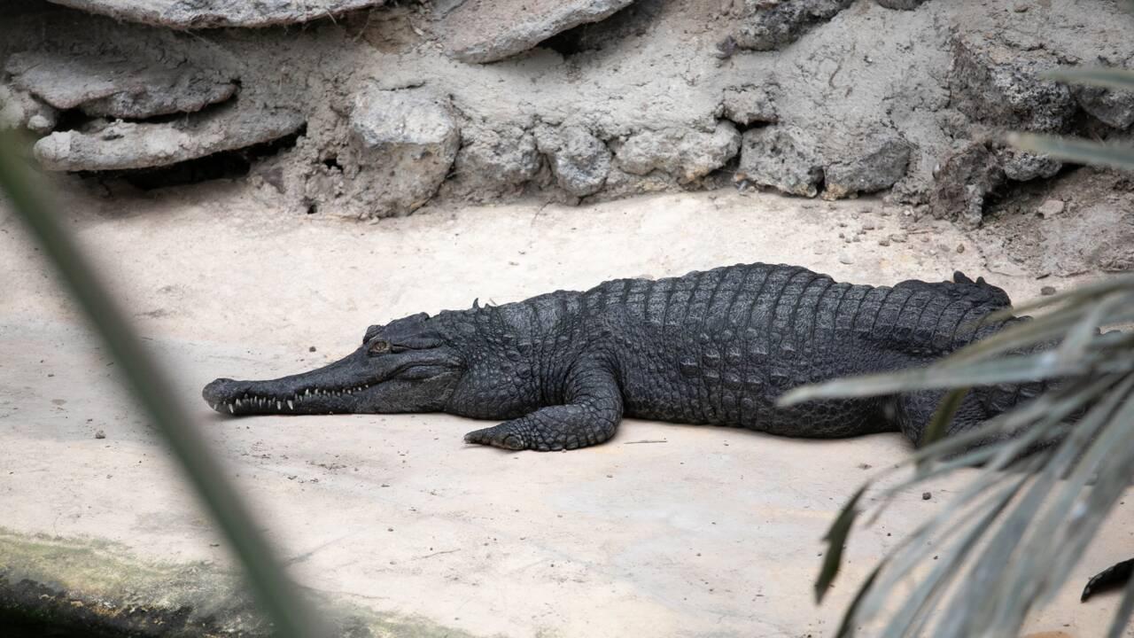 Naissance en Normandie de bébés crocodiles d'une espèce menacée