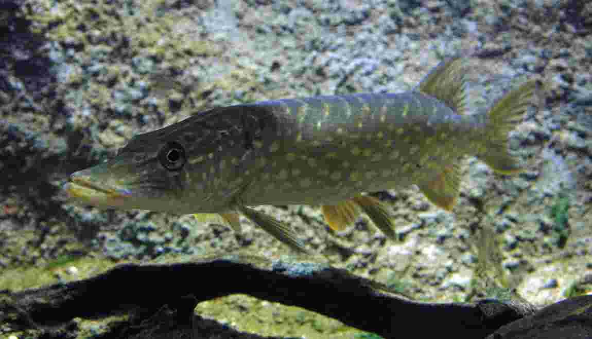 En France, une espèce de poisson d'eau douce sur 5 est menacée