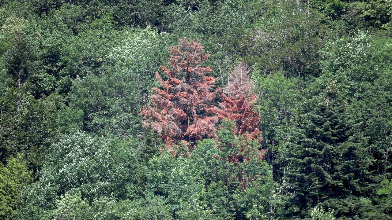 Dans les Vosges, l'agonie rougeoyante des sapins mourant de soif