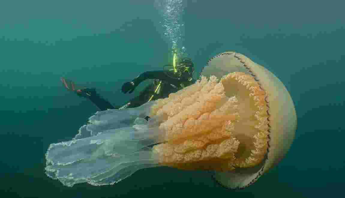 Quand une biologiste croise la route d'une méduse géante au large des Cornouailles