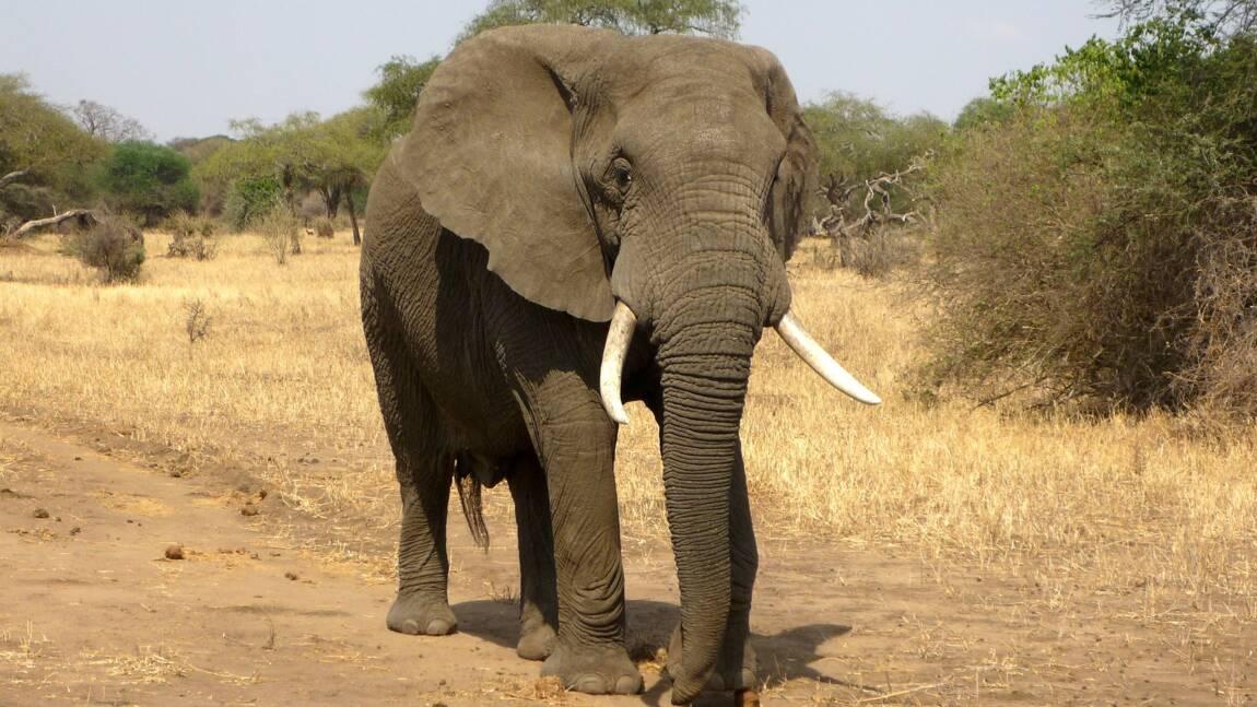L'éléphant, gardien des stocks de carbone en Afrique Centrale