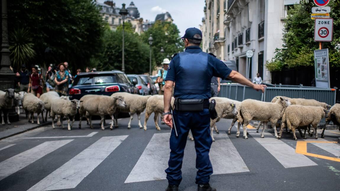 Transhumance urbaine: à Paris, les brebis traversent dans les clous