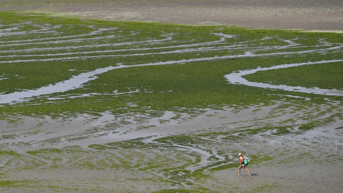 Mort d'un ostréiculteur: les algues vertes ne sont pas en cause