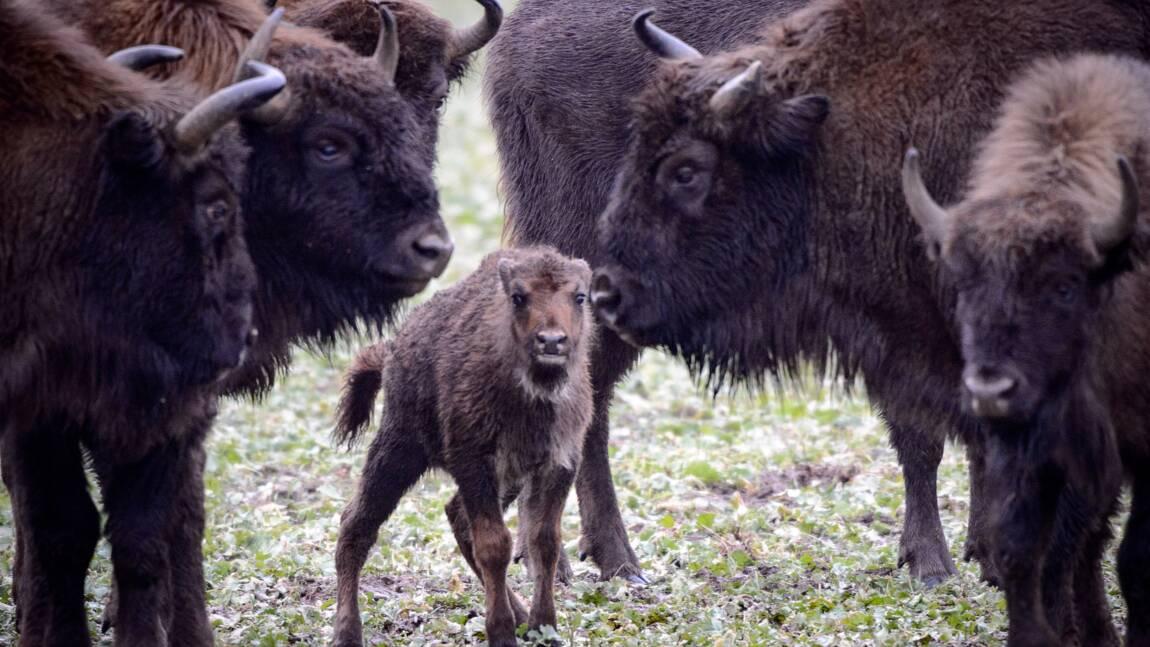 Les 19 bisons qui divaguaient à Megève ont été abattus
