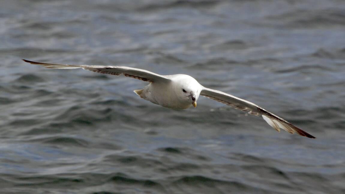 Au Danemark, 95% des pétrels fulmars morts ont ingéré du plastique