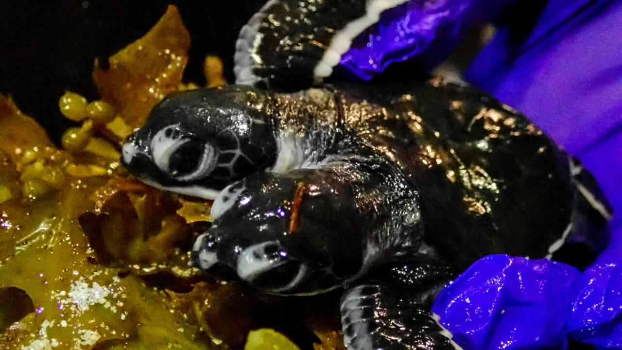 Une tortue à deux têtes naît en Malaisie