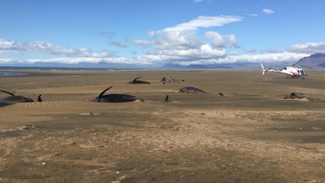 Islande: une cinquantaine de baleines pilotes meurent échouées sur une plage