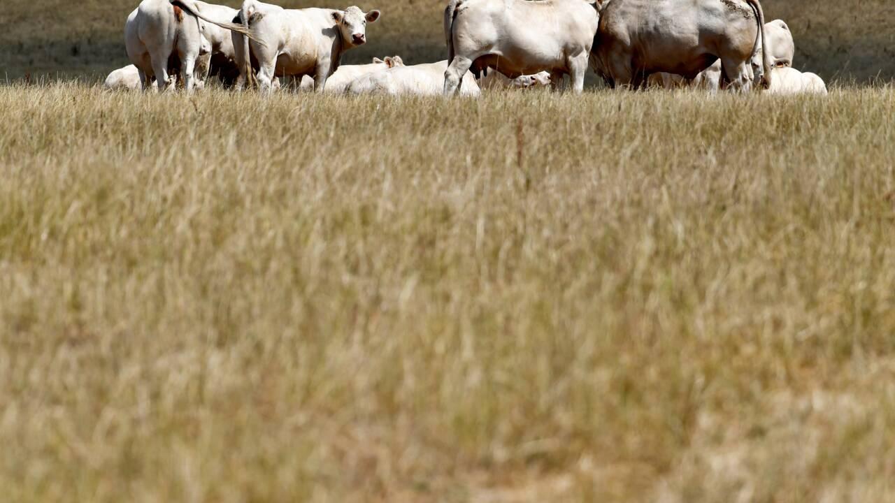 Canicule: le transport routier d'animaux interdit aux heures les plus chaudes