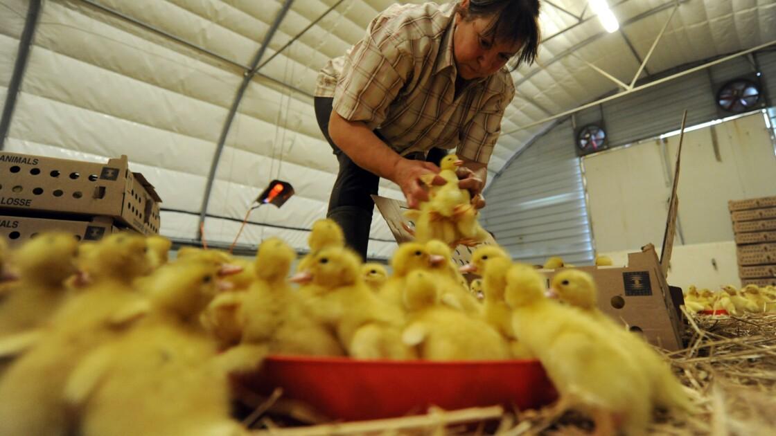 Relaxe pour des éleveurs basques ayant refusé l'abattage préventif de leurs canards