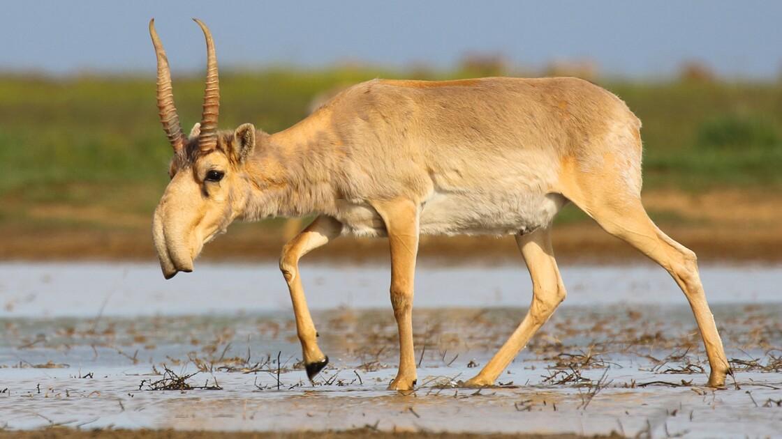 La population d'une antilope rare et menacée a doublé au Kazakhstan