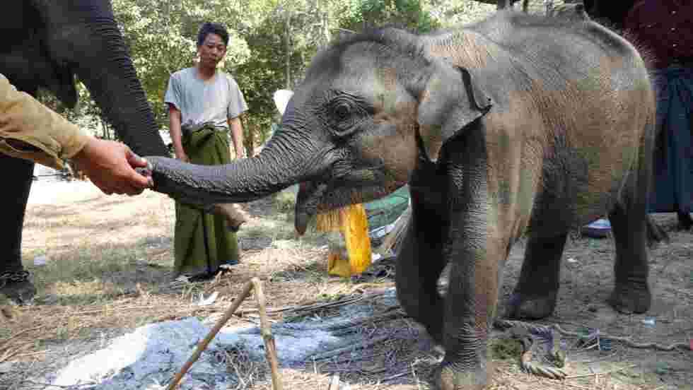 Eléphants de Birmanie : enquête sur un commerce macabre qui met l'espèce en péril