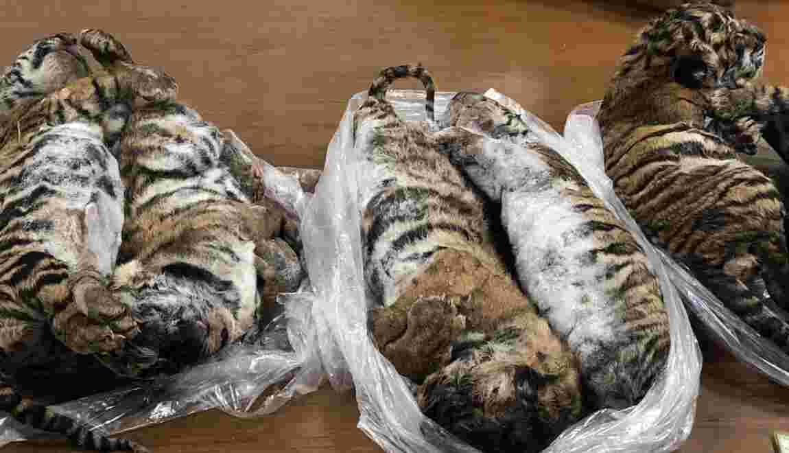 Sept tigres surgelés découverts dans une voiture au Vietnam