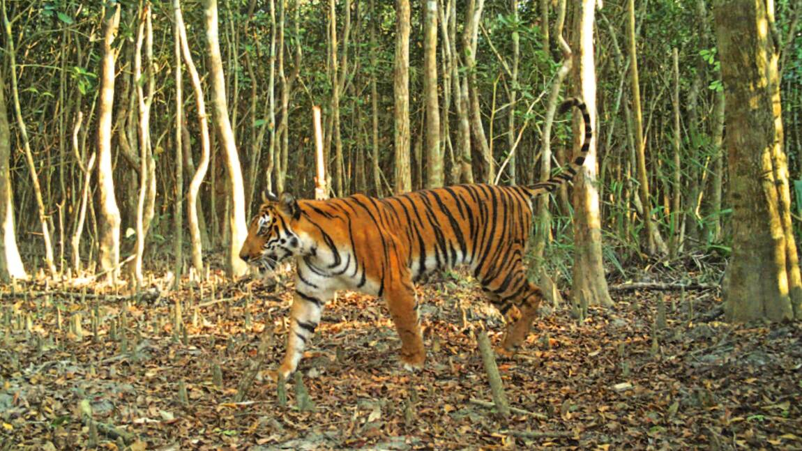 Bangladesh: déficit inquiétant de tigres mâles sauvages
