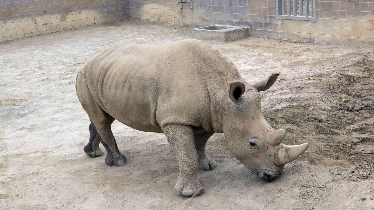 La naissance d'un rhinocéros blanc en Californie, une source d'espoir pour l'espèce