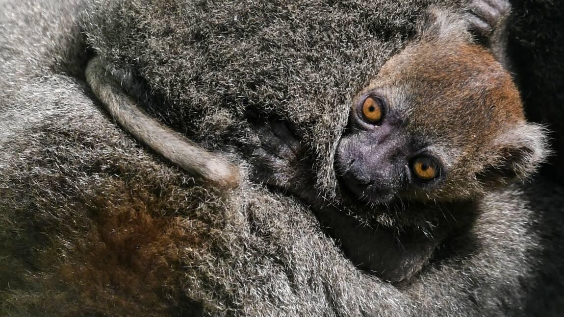 Besançon: mort d'un bébé lémurien Grand Hapalémur, espèce en danger d'exctinction