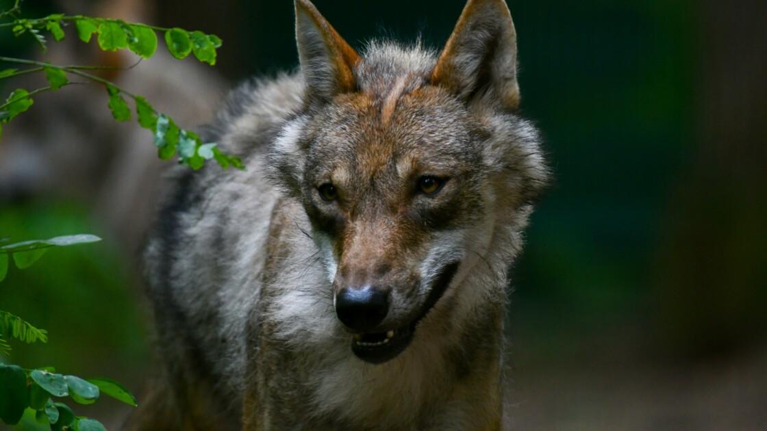 Le loup de retour sur les versants français du massif du Jura