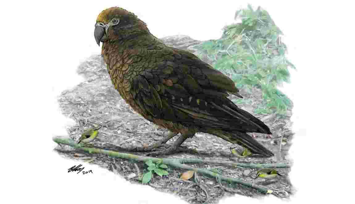 Il y a 19 millions d'années, un perroquet géant vivait en Nouvelle-Zélande