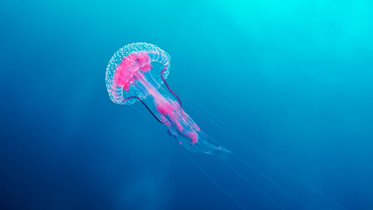 Voici les espèces de méduses que vous pourrez rencontrer sur les plages françaises