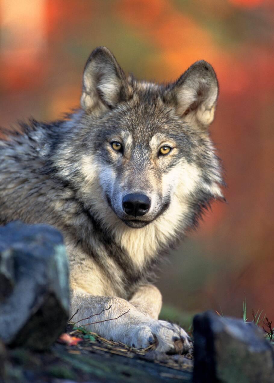 Le gouvernement américain détricote la loi protégeant les espèces menacées