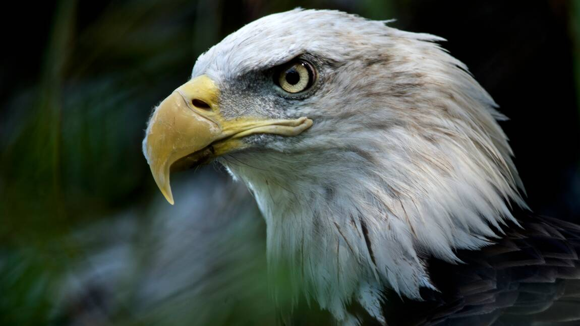 Le gouvernement Trump détricote la loi protégeant les espèces menacées