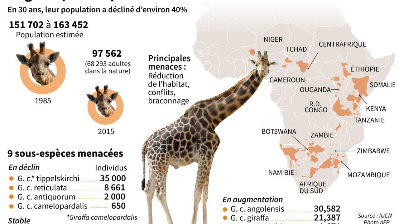 Rôle des taches, taille du cou... Chiffres et infos insolites sur la girafe