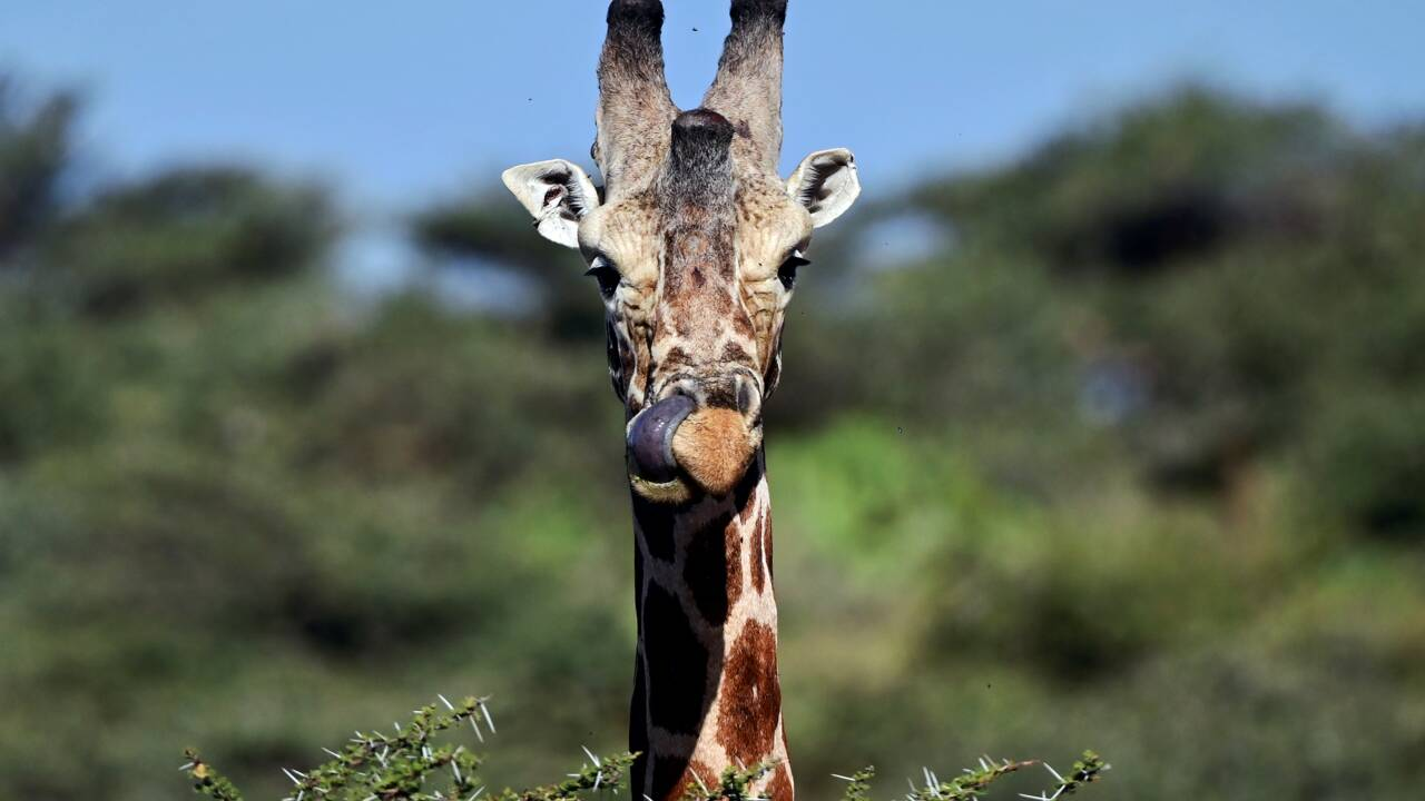 La CITES confirme la protection des girafes ou encore des requins makos