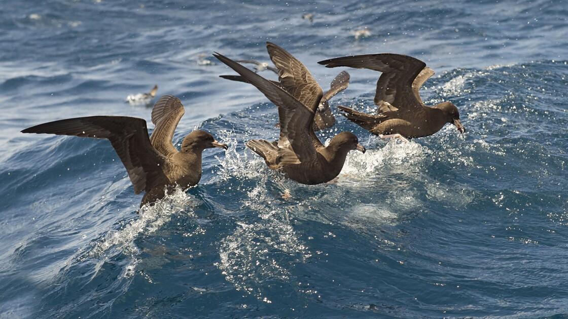 Pollution : comment l'ingestion de plastique affecte l'organisme des oiseaux marins