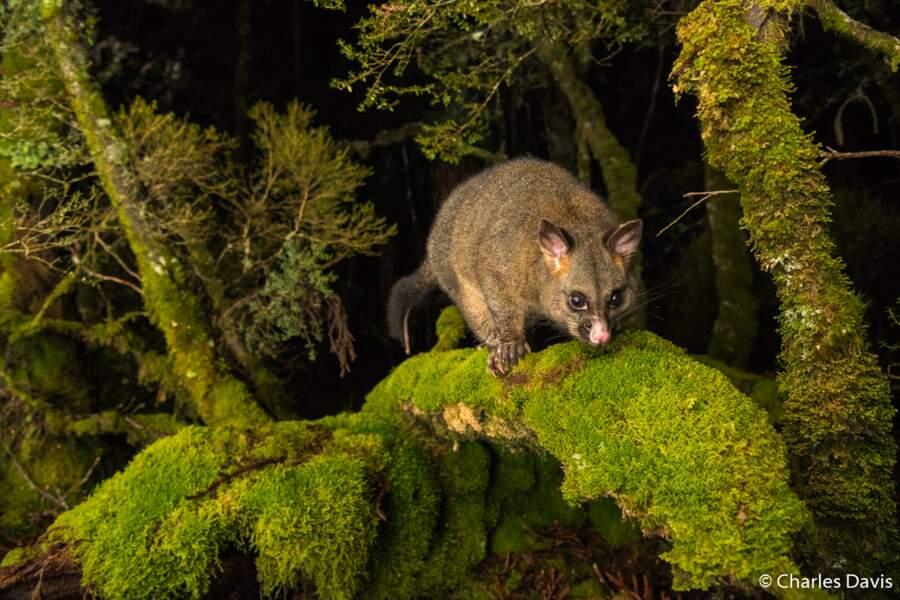 L'opossum de Cradle Mountain
