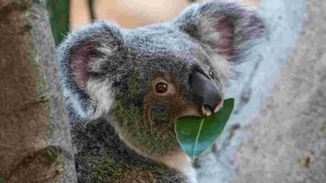 En Australie, des capsules de matières fécales pourraient aider à sauver les koalas