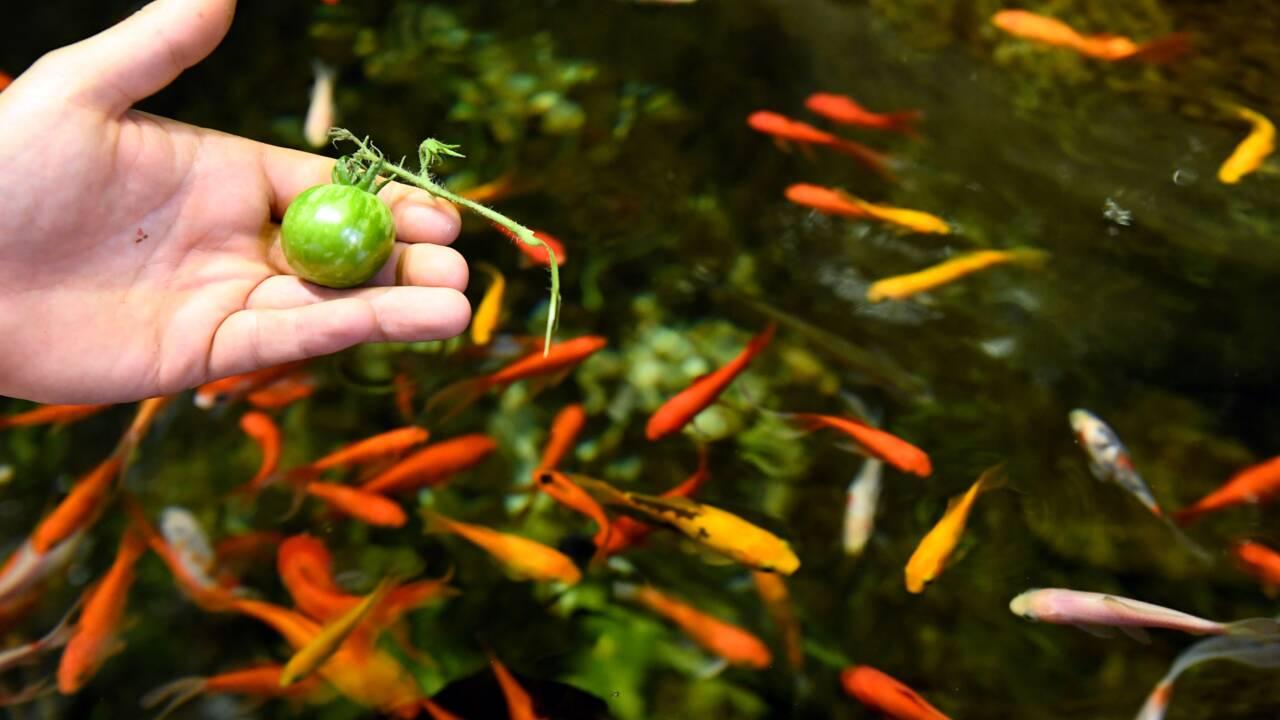 A l'Aquarium de Paris, les poissons font pousser des tomates