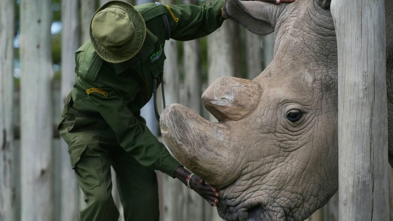 Kenya : des scientifiques font un pas de plus pour sauver le rhinocéros blanc du Nord
