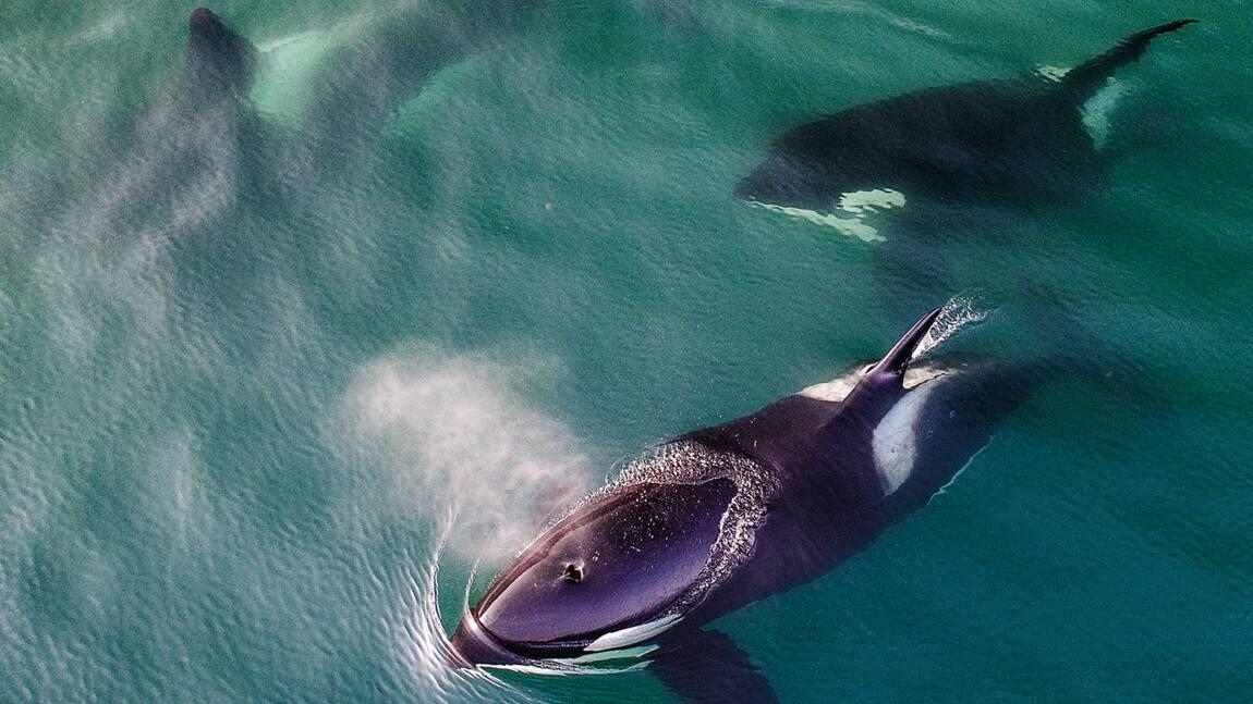 En Russie, des orques captives ont retrouvé leur liberté et se réadaptent avec succès