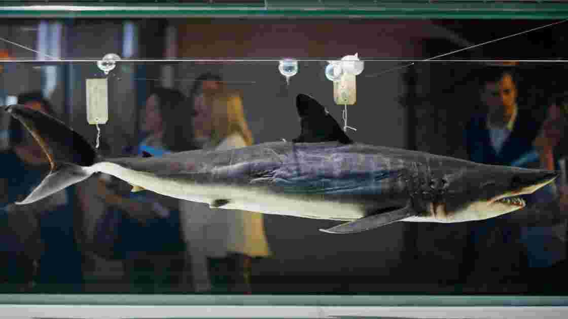 La CITES vote pour la protection des requins makos