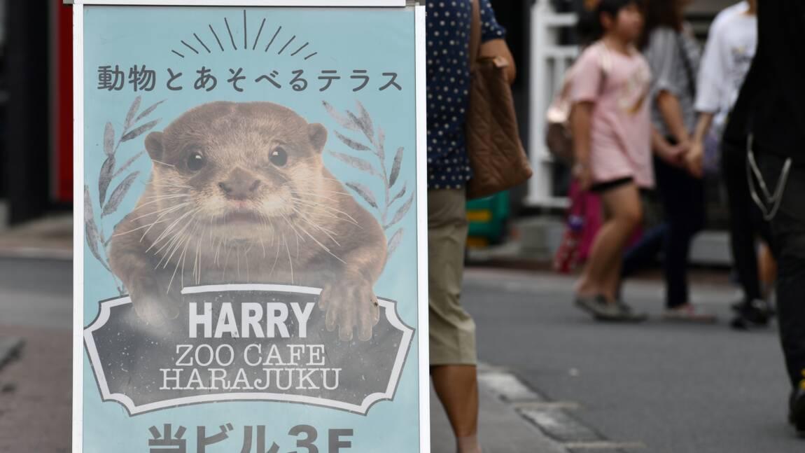 La CITES vote l'interdiction du commerce de la loutre cendrée