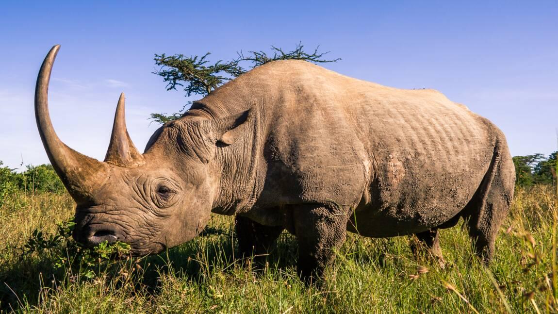 Les rhinocéros bientôt sur les marchés financiers