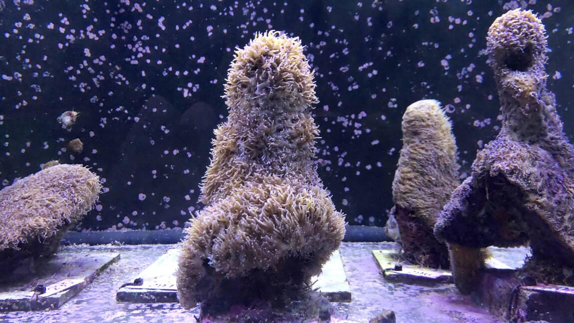 Des scientifiques ont réussi à induire la reproduction de corail atlantique en laboratoire