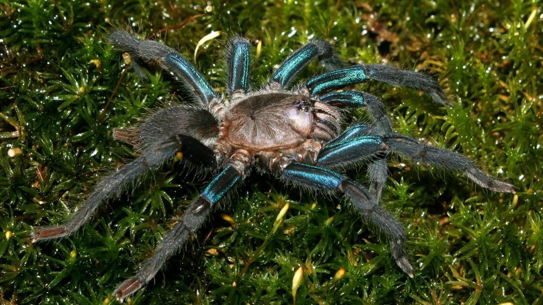 Une nouvelle espèce de mygale aux pattes bleutées découverte dans la forêt du Sri Lanka