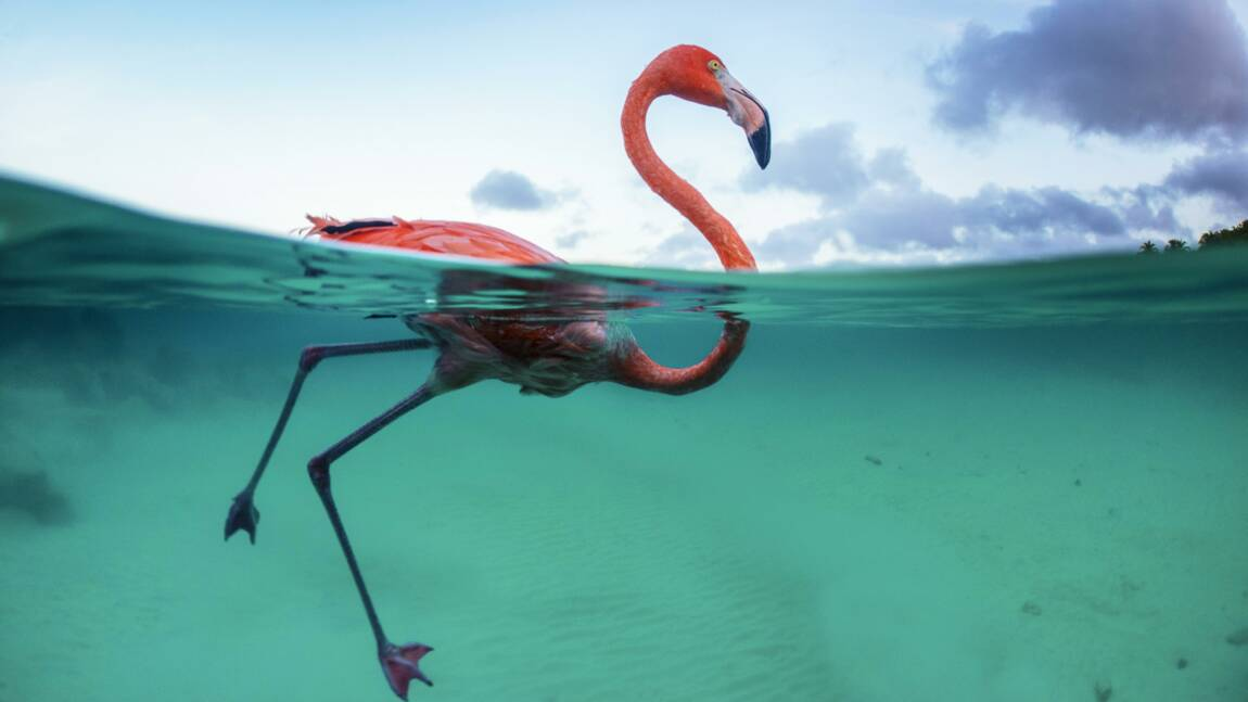 Bob le flamant rose activiste et écolo de Curaçao