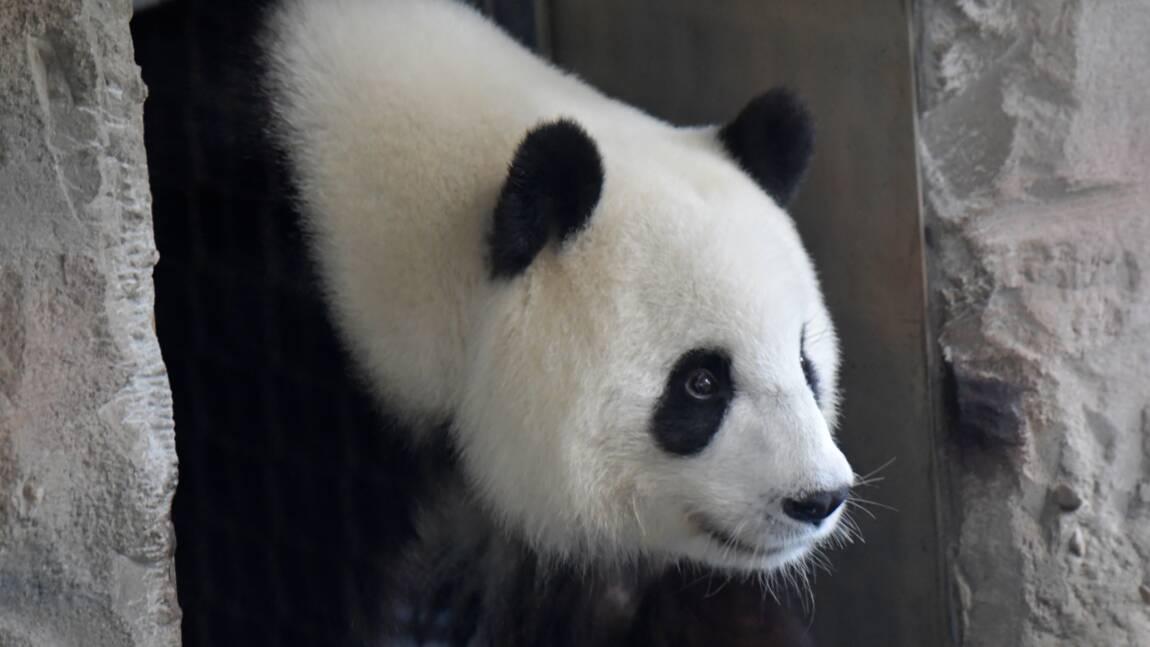 Allemagne: naissance de deux pandas au zoo de Berlin