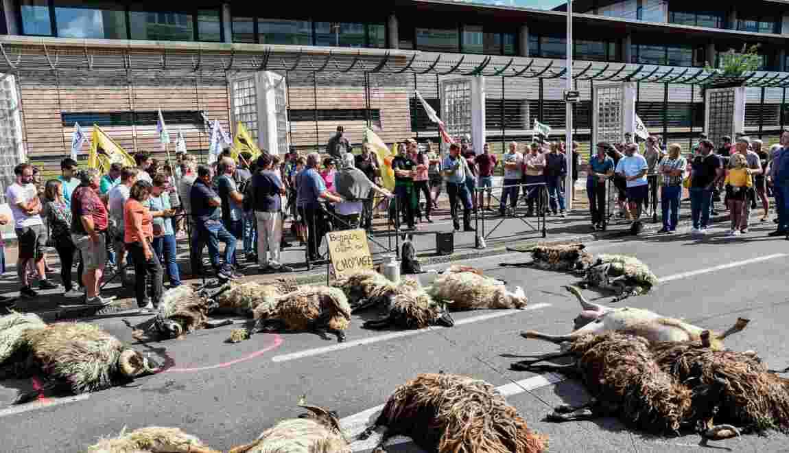Pyrénées: des éleveurs manifestent après une probable attaque d'ours
