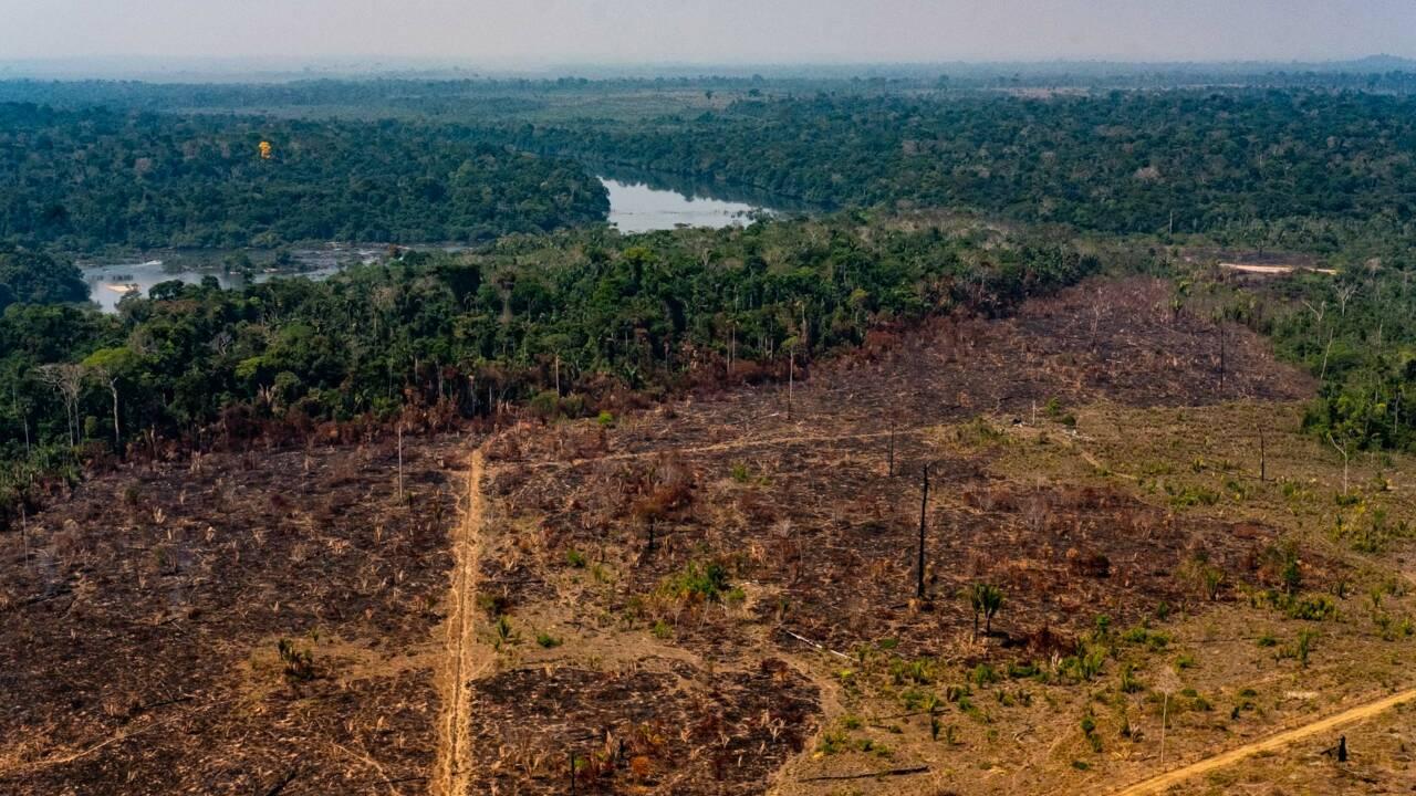 En Amazonie, la déforestation cède la place à l'élevage, puis aux friches