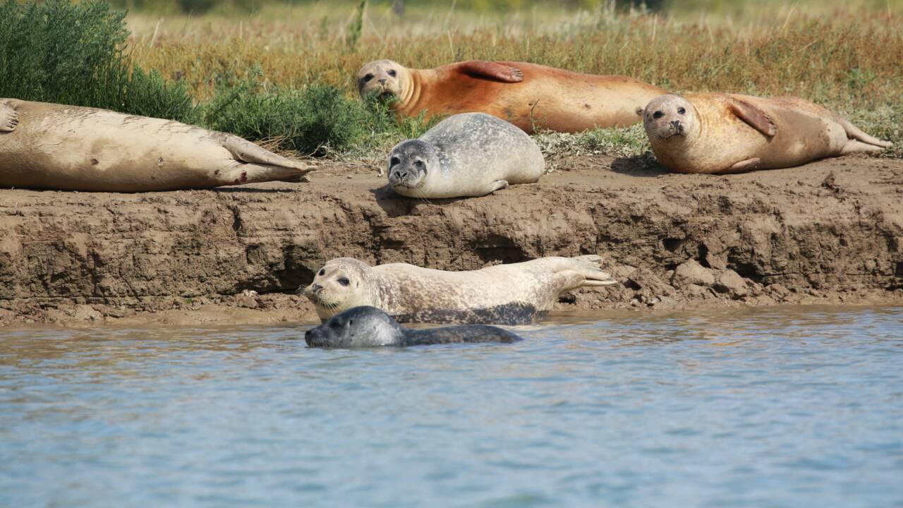 """Plus d'une centaine de phoques sont nés dans la Tamise autrefois considérée comme """"biologiquement morte"""""""